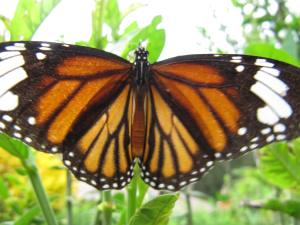 thaibutterflies 005